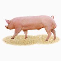 Племінні свині, свиньи, хряки, кнур, сперма
