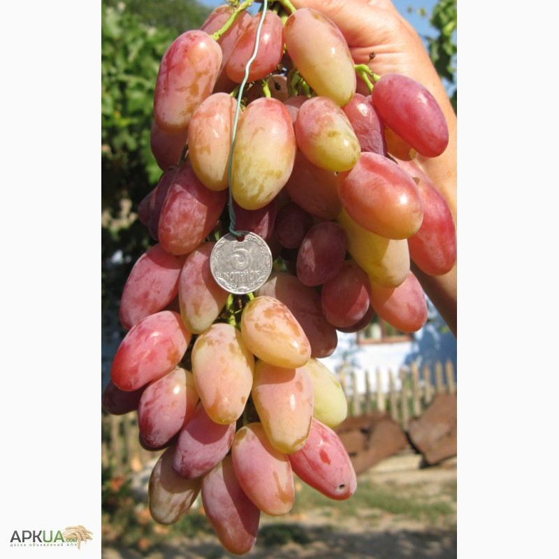 виноград диксон описание сорта фото отзывы