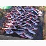 Рыбный цех Прогресс реализует вяленую рыбу оптом