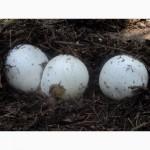 Натуральна настойка гриба Веселки на самогонці