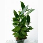 Продам комнатное растение Лавр