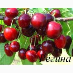 Саженцы черешни и вишни от производителя