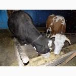 Продам 3 корови