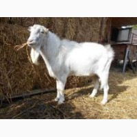 Продам козла породы Ламанча