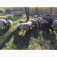 Вівці Романі