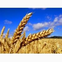 Куплю пшеницу. Оптом. Днепр и область