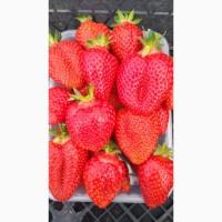 Продаж полуниці оптом ягода у євротарі