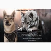 Продажа щенков Чехословацкого влчака