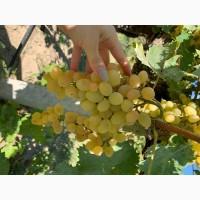 Продам Виноград на вино