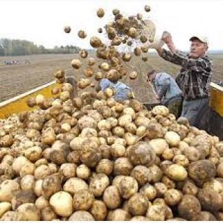 Купим товарный картофель 5.30грн