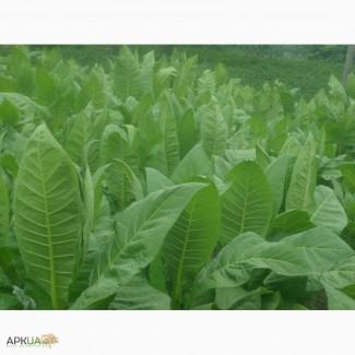 Семена урожайних сортов табака