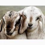 Корм для овцы, козы гранулированный, в Одессе