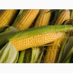 Продам семена кукурузы Любава 279МВ, ФАО-270