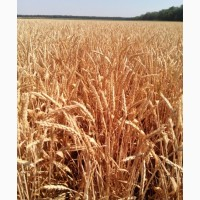 Семена безостой озимой пшеницы - ПОВЕЛИЯ