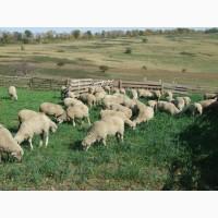 Продам молодых баранов тушками и живым весом