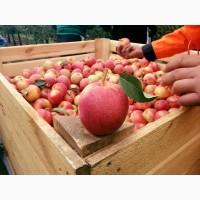 Оптовая продажа яблок сорта Gala и Golden Delicious