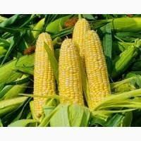 Гибрид кукурузы ДН Хортица (ФАО 240)