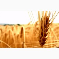 Закупаю пшеницу, ячмень, горох, кукурузу, просо на постоянной основе, форма оплаты любая