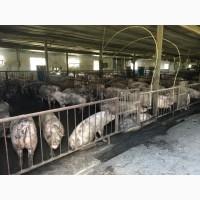 Продам свиней та поросят
