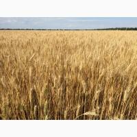 Пшениця озима ЗЛАТОГЛАВА, насіння пшениці