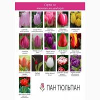 Тюльпаны опт, Днепр, Киев