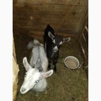 Продам козлят( 2 козочки і козлик)