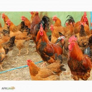 Яйца инкубационные Кучинская Юбилейная
