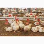Продам подрощенных цыплят бройлеров Кобб 500