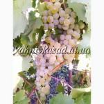Саджанці винограду Цитроний Магарача