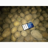 Куплю картофель в Черниговской и соседних областях