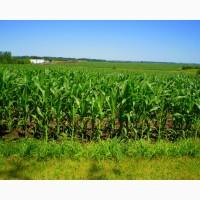 Семена кукурузы Оржиця, Солонянска, Любава, Днепровский