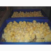 Добові курчата бройлери / Суточние курчата ОПТ