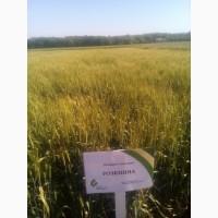 Розкишна -семена озимой пшеницы