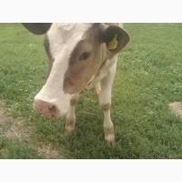 Продам корову і теличку