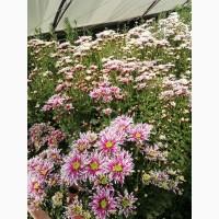 Хризантема на срез к 1 сентября оптом