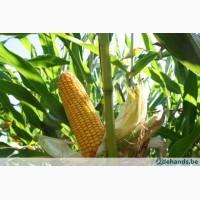 Продам семена кукурузы Полтава ФАО 270