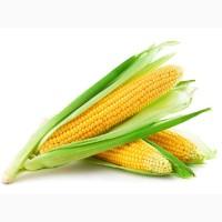 Закупаем зерно кукурузы в базе от 1ООт