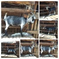Козочки кози козы Ламанча покрытые козлом Ламанчем:две за 3400гр.акцыя