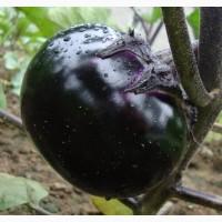 Продам семена Баклажан Фиолетовая голова