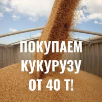 Покупаем кукурузу! Дорого! От 40 т
