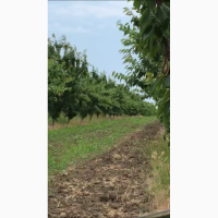 Продам урожай черешни оптом 2019 год