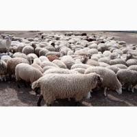 Овцы, бараны