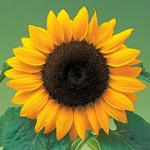 Семена подсолнечника Лимагрейн ЛГ 5542, ЛГ 5662, ЛГ5661КЛ, ЛГ 5663КЛ
