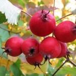 Купить боярышник плоды