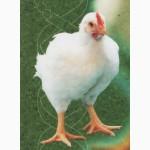 Молодняк птиці: бройлер, іспанка голошия, редбро, мастер грей, мулард, індики