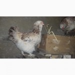Продам інкубаційне яйце курей Фавероль
