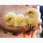 Цыплята суточные и подрощенные