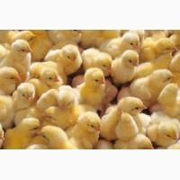 Купити курчат Ломан Браун та Ломан Вайт