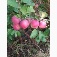 Продам яблоко Слава Победителям оптом с сада