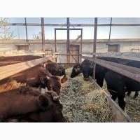 Продам молодняк ВРХ, КРС, річний молодняк телиці на продутивну корову